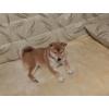 Продается  щенок сиба-ину (Шиба)
