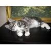 Короткохвостые кошки продам