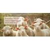Племенное овцеводство (романовская овца)  и производство кормов для скота.