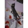 Плюшевые котятки (чистокровная шотландская)