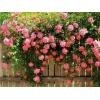 Чудо-сад.  Саженцы роз